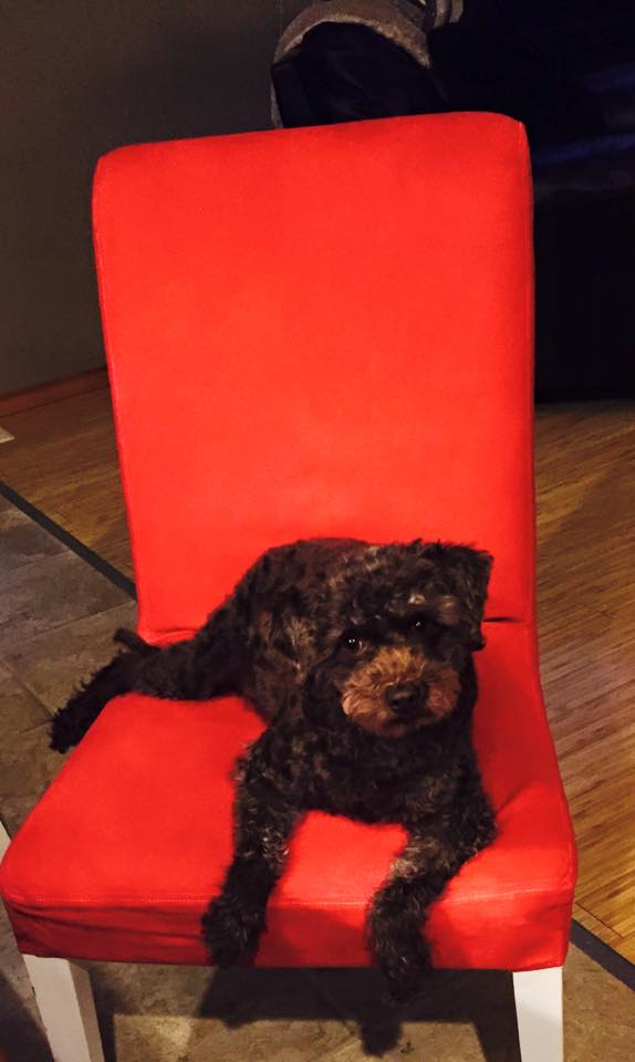 Our mini labrodoodle enjoying the new dyed chair covers.